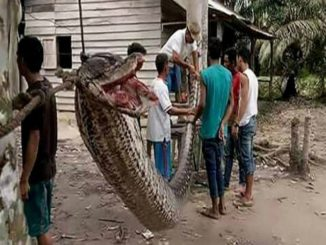Indonesian woman grabbed and swallowed by 7 metre long Python