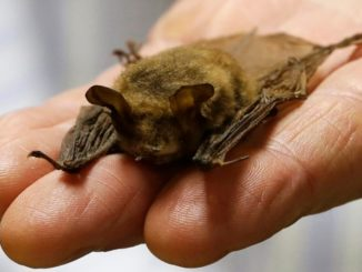 Swimmers who touched bat in Ont. lake might have been exposed to rabies